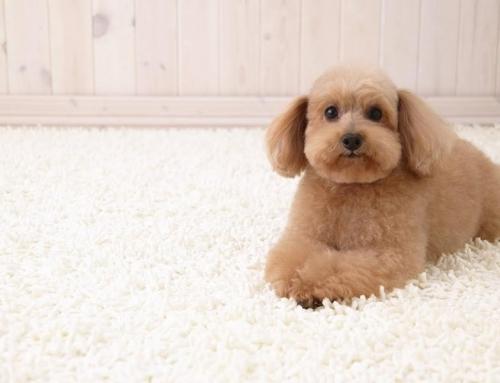 Você sabe o que o seu cão pode estar deixando em seu tapete?
