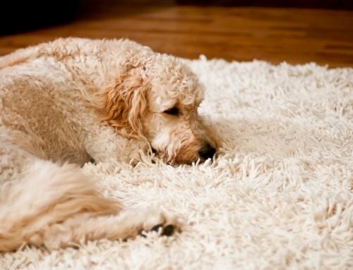Como remover o pelo de cães e gatos dos tapetes, carpetes e sofás?